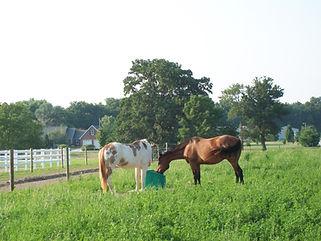 2 Horses on 101 in Pasture.JPG