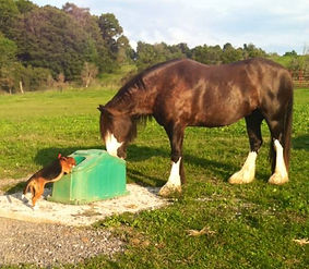 Clydesdale and Beagle.jpg