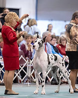 Grand Champion Harlequin Great Dane winning an award of merit at the GDCA National Specialty show