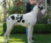 Harelquin great dane stud dog