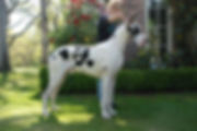 Our BIG Champion Harlequin Stud dog imported from Alto Gavea in Brazil