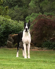Mantle great dane stud dog