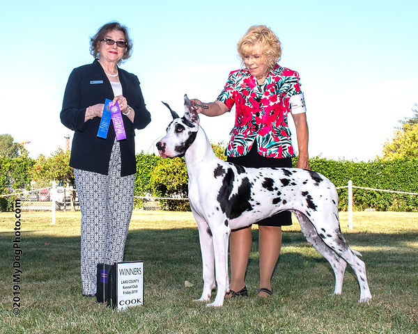Praia - our harlequin puppy winning her first point