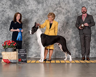 Carpo wins 6-9 mantle puppy dog GDCA national 2018.jpg