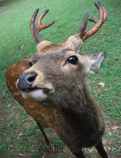 Nara Sacred Deer