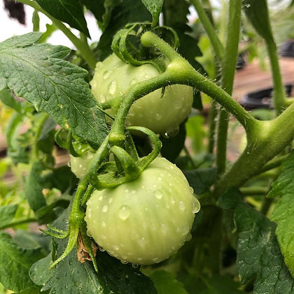 green tomatoes, plants, growing