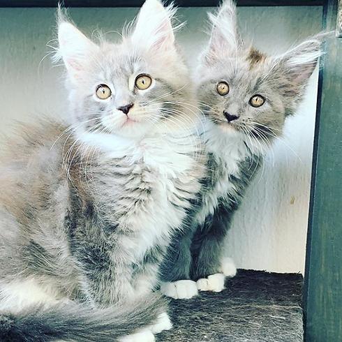chatons chatterie des ducs et princes de