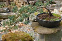 bonsaiCopy