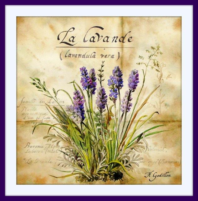 lavande (aquarelle).jpg