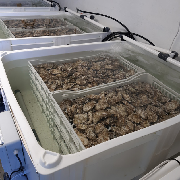 Oysters in the purification tanks