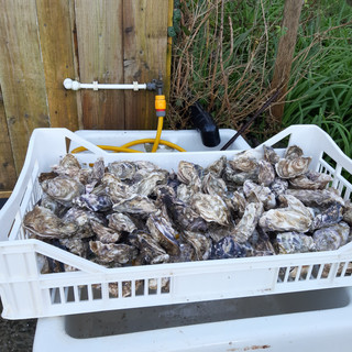 Cleaning oysters with running water