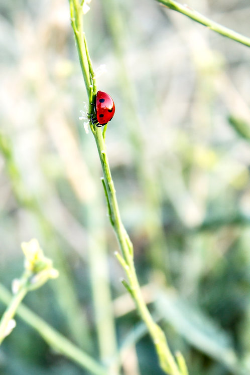 Ladybug in summer