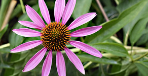 Echinacea and the Immune System