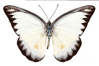 1-white-butterfly-species-appias-lyncida