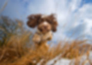 Charlie2-Cockapoo-Bounders-Dog-Photograp