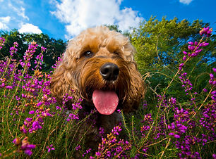 Purdie-Cockapoo-Bounders-Dog-Photography