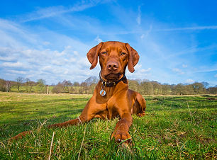 Ruben - Vizsla Bounders Dog Photography.