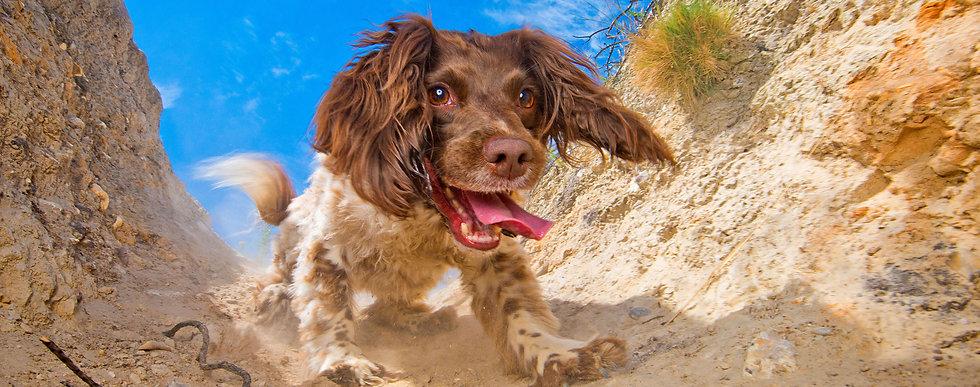 Ellie_Springer_Spaniel_Bounders_Dog_Phot