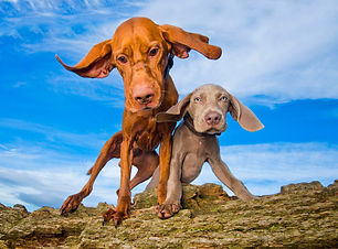 Vinnie & Casper_Weimaraner_Bounders_Dog_