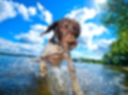 Ralph 2 Springer Spaniel Bounders Dog Ph