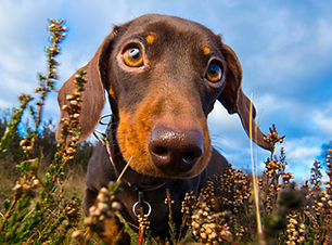 Daisy_Dachshund_Bounders_Dog_Photography