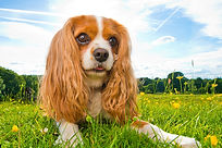 Bella the Cavalier King Charles Spaniel, competition winner - Photograph by Joe Riley at Bounders Dog Photography, Derbyshire