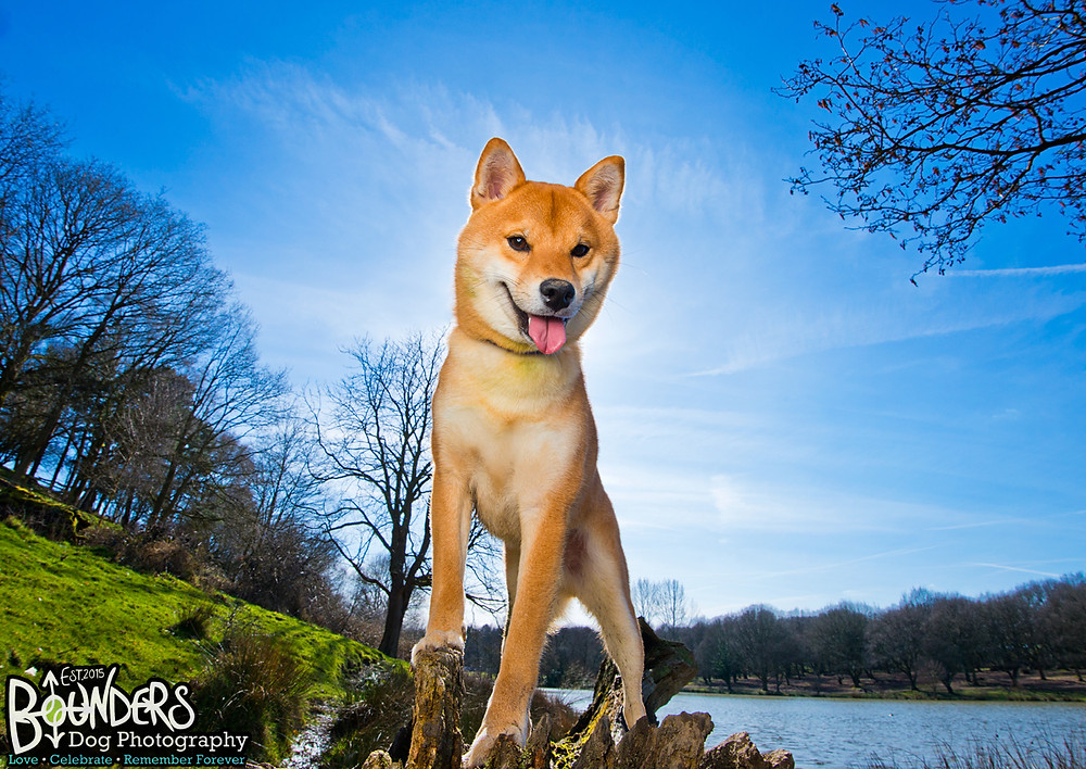 Sesame the Shiba Inu - Bounders Dog Photography