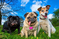 Tinkerbell, Dorothy & Buster thePugs and Jack Russell - Photograph by Joe Riley at Bounders Dog Photography, Derbyshire