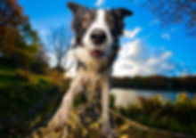 Mumford-Border-Collie-Bounders-Dog-Photo