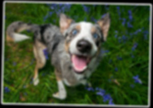 36-Border-Collie-Bounders-Dog-Photograph