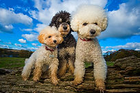 Henry, Mollie & Pixie the Bichon Frise andToy Poodles - Photograph by Joe Riley at Bounders Dog Photography, Derbyshire
