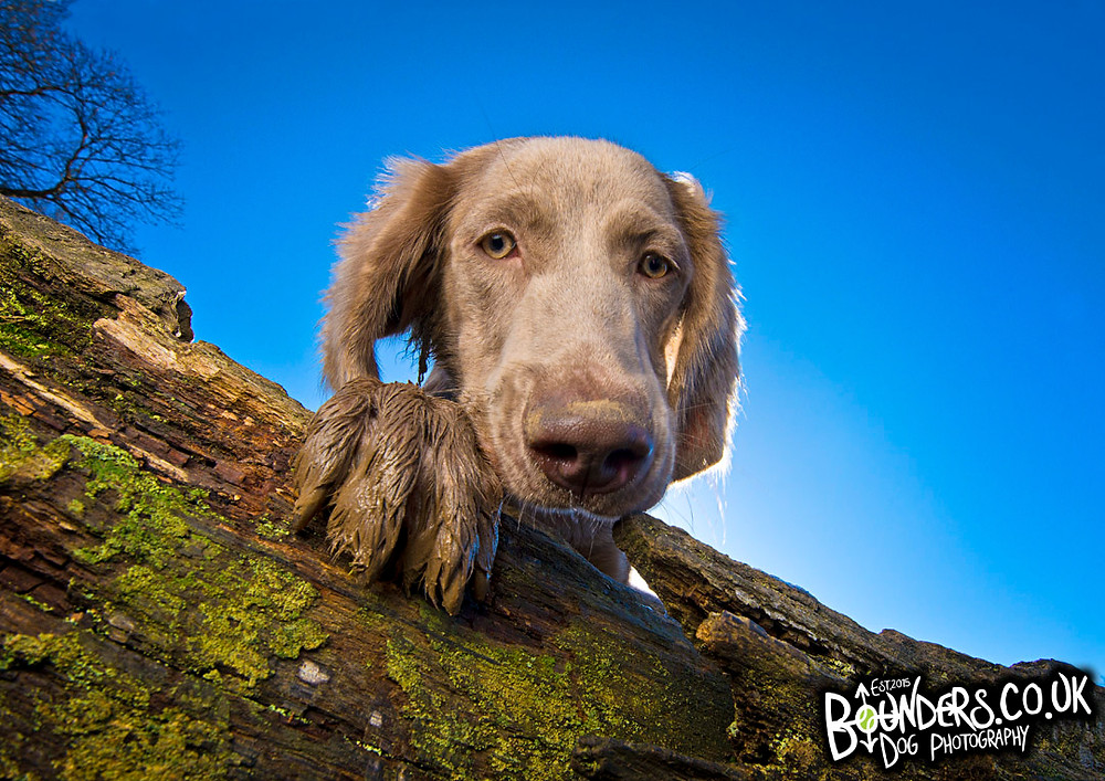 Bounders Dog Photography - Harry, the 6 month old Long Haired Weimaraner, enjoying a blue sky day in Feb 2018