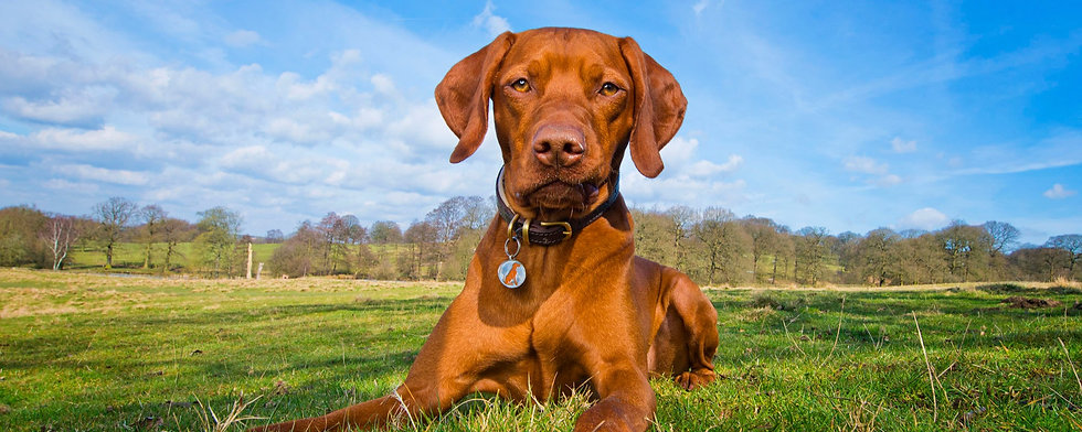 Ruben%20-%20Vizsla%20Bounders%20Dog%20Ph
