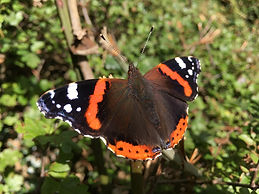 Red Admiral butterfly - Hope