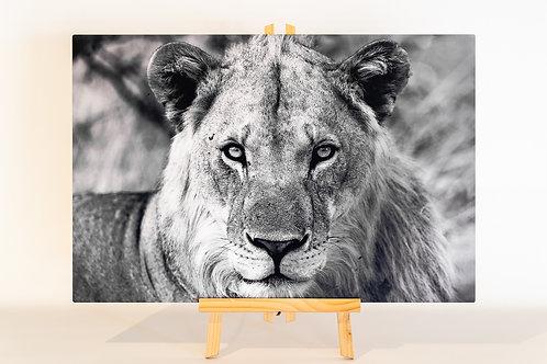 Lion 40 x 60 cm Chromalux