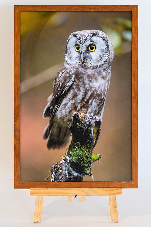 Chouette de tagmalm 30 x 45 cm sur toile cadre cerisier