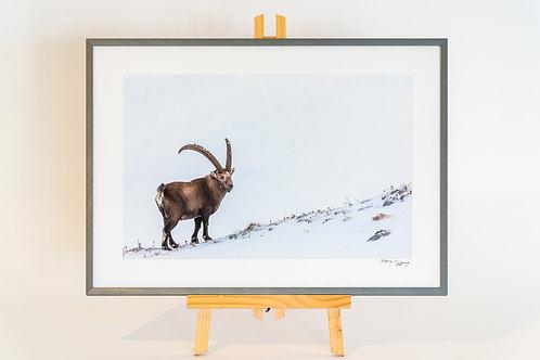 Bouquetin dans la neige avec cadre 53 x 37.5 cm