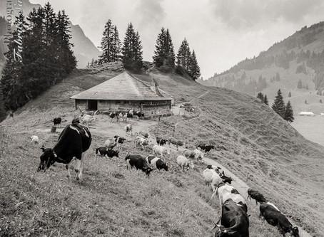 Histoires de vaches fribourgeoises