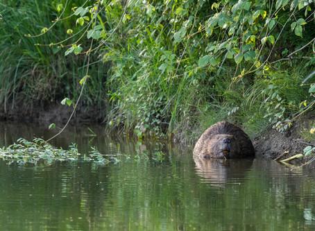Les castors sur la Broye