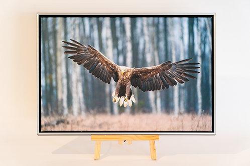 Aigle à queue blanche toile 40 x 60 cm avec caisse américaine Nielsen