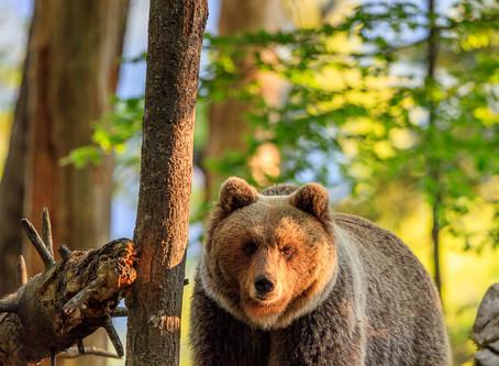 L'ours de Slovénie