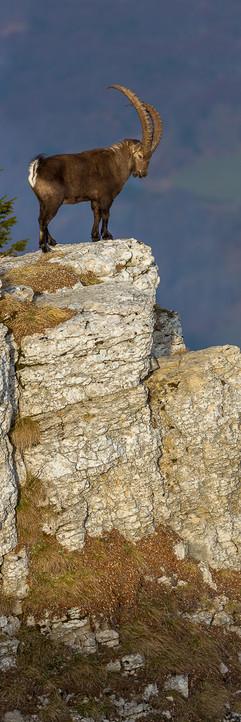18122013-Bouquetin vertical 3x1-2.jpg