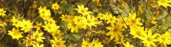 Adey Abeba Flower