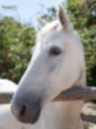 white-horse-1547710.jpg