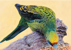 Green Rosella Feeding