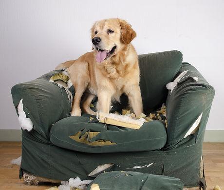 Golden retriever dog demolishes chair.jp