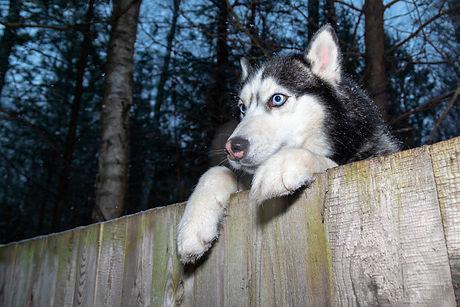 Siberian Husky Dog looking over backyard
