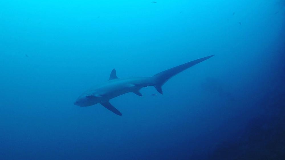 l'attrait touristique Malapacua a toujours été l'observation quotidienne de majestueux requins-renards.