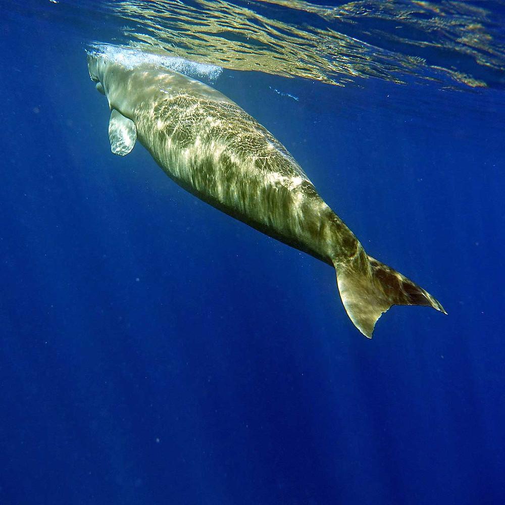 Coron possède une zone où l'on peut trouver des dugongs, la zone se trouve au nord et de L'Île de Busuanga