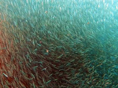Sardine Run Moalboal • Oui, les sardines courent toujours en 2021